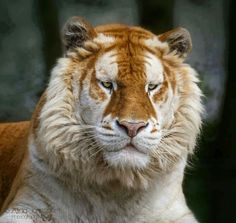 Rare Golden Tiger