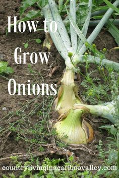 Onions are so easy to grow! If you use a lot of onions in cooking, why not plant a few rows in your garden? They are one of the easiest vegetables to grow and the only thing you need to do is keep the weeds down, so the onions grow nice and big. Here's how... Read More