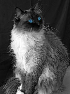I was playing with some photos in Black & White and it seemed approptiate to keep some selective color in this shot. Zira really does have gorgeous blue eyes and we are constantly amazed by how great she looks, especially when compared to how she looked when we took her in last July.  Zira is our most behaviorally challenged cat and sometimes has issues with our other cats, likely due to some of the horrible experiences she endured as a starving stray trying to feed and protect her kittens…