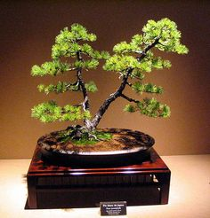 Japan 日本 1974-2009 — Bonsai 24 | by dugspr — Home for Good