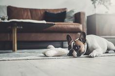 Denjo Dogs - Cloud7 Organic Plush Bone Toy.  #cloud7 #dogbone #bonetoy #organiccotton #dogtoy #frenchbulldog #hundleksak #ekologisk #hundben #franskbulldog French Bulldog, Plush, Interior, Dogs, Nature, Animals, Naturaleza, Animales, Indoor