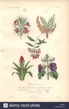 Download this stock image: Decorative botanical print with rosemary grevillea, silky oak, guzmania and gloxinia from Herincq's Regne Vegetal (1865). - BJKAFF from Alamy's library of millions of high resolution stock photos, illustrations and vectors.