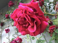 Rose, Garden, Flowers, Artist, Plants, Pink, Garten, Lawn And Garden, Artists