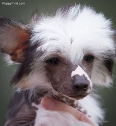 Chinese Crested Pictures (o5ok5980wse)