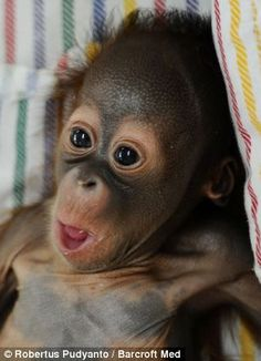 hello to Rizki, the tiny nappy-wearing orangutan who is hand-reared on milk and mashed banana after his mother rejected him at birth Rizki, baby orangutan Cute Baby Animals, Animals And Pets, Funny Animals, Primates, Mundo Animal, My Animal, Baby Orangutan, Borneo Orangutan, Cute Monkey