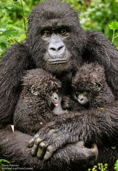 Mountain gorillas the fifth set of mountain gorilla twins ever to be reported in Rwanda's Volcanoes National Park. The mountain gorilla is officially listed as critically endangered.