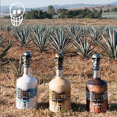 The Blue Weber agave has found a perfect bottle 🌵 💀  #Tequilapadrezul #canyoutellwereexcited #thebesttequila #superpremiumtequila #lifecanbefantastic #Mexicantradition #handmade #salud #quepadre #tequila #Añejo #Reposado #Blanco