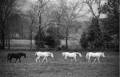 Its OK To Be Different Horses 8x10 Photograph Black by NatureIsArt