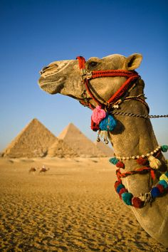 actually i've been to egypt multiple times and never saw this... someday. with a camel.