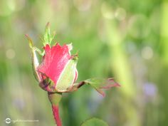 Red Rose bud in a feild Rose Buds, Red Roses, Flora, Landscape, Nature, Naturaleza, Red Rose Flower, Plants, Landscaping