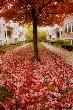 Red glory of autumn