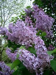 Lilac - Syringa vulgaris - Shrubs in an English Country Garden Syringa Vulgaris, Lilac Bushes, English Country Gardens, Purple Lilac, Lilac Tree, Purple Flowers, The Ranch, Dream Garden, Garden Plants