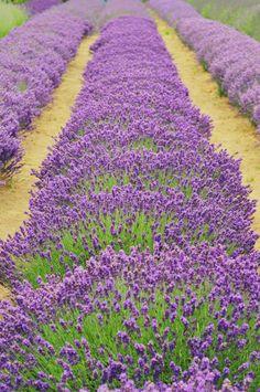 rows of lavender, Sequim, Washington
