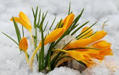 Pictures Amazing Flowers In Snow Beautiful Dream, Amazing Flowers, Spring Flowers, Lily, Garden, Nature, Plants, Snow, Winter