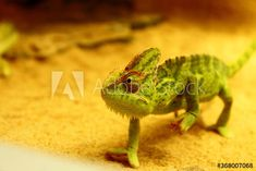 Close-Up Of Chameleon – kaufen Sie dieses Foto und finden Sie ähnliche Bilder auf Adobe Stock | Adobe Stock Chameleon, Close Up, Photography, Image, Pictures, Photograph, Fotografie, Chameleons, Photoshoot