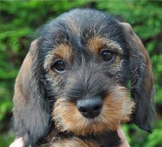 Looks like a mix between a Schnauzer and a Dachsy. awwww