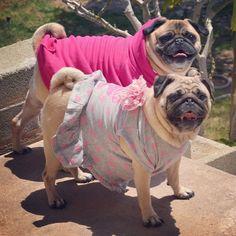 On Wednesdays we wear pink! #pugs