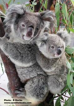 This Site Has Many Great Koala Pics, As Well As Free Coloring & Activity Sheets And a Lot of Great Koala Facts and Info!