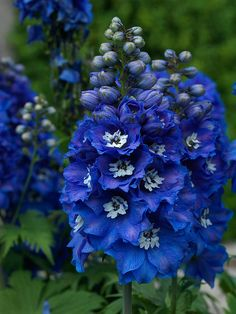 Delphinium Blue Bird by Countryside Online on Flickr.
