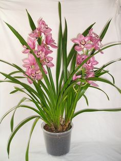 Orchid Plant Care, Orchid Plants, Garden Of Earthly Delights, Growing Orchids, Cymbidium Orchids, Orchidaceae, Potting Soil, Houseplants, Gardens