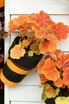 Ornamental leaves of Heuchera 'Tiramisu' in container garden pots hanging on wall Like the hanging pots but need to deal with wind. Foliage Plants, Potted Plants, Plants Indoor, Container Plants, Container Gardening, Coral Bells Heuchera, Photo Images, Plant Images, Unique Plants