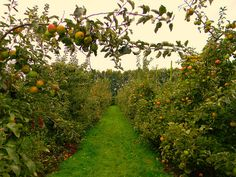 Orchard hedge
