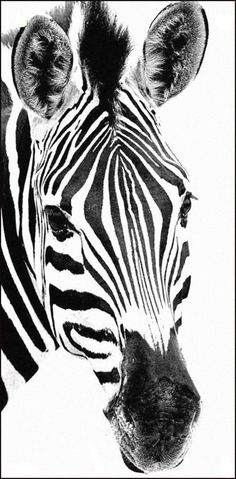 Zebras are several species of African equids horse family united by their distinctive black and white stripes Their stripes come in different patterns unique to each indi. Zebra Drawing, Zebra Painting, Zebra Art, Safari Animals, Animals And Pets, Cute Animals, Wild Animals, Zebras, Animal Paintings