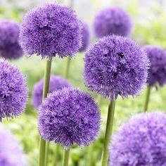 Allium Globemaster has big, blooms atop stems. Beautiful cut flower and deer resistant. Allium Globemaster, Purple Flowers, Beautiful Flowers, First Flowers Of Spring, Pot Plante, Garden Bulbs, Garden Plants, Outdoor Flowers, Purple Garden