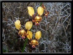 Diuris corymbosa | Orchid Gallery Two - Wildflowers of Western Australia
