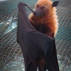 bats on st thomas virgin islands - Google Search