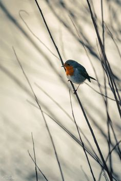 Robin by András Pásztor Beautiful Horse Pictures, Bird Pictures, Beautiful Horses, Beautiful Birds, Animal Photography, Nature Photography, European Robin, Japan Painting, Robin Bird