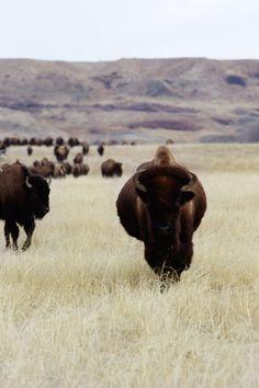 bisons, south dakota. by Béa