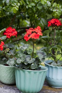'Queen of Wien' är en allväderspelargon för urna eller som friplanterad i rabatter. Varken sol eller regn är något hinder för den här pelargonen. Blommorna är röda och enkla blommor och bladverket robust mörkgrönt.