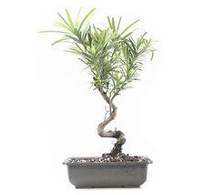 Podocarpus Bonsai Tree Click image to go to purchasing page