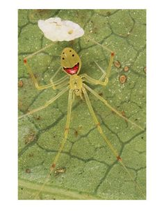happy face spider. this is a real spider. it lives in Hawaii. I would be happy if I lived in Hawaii, too.