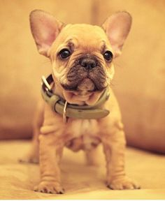 French Bulldog Puppy #PuppyHouses