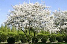Bærmispel  Amelanchier lamarckii (dansk navn: bærmispel) stammer oprindeligt fra Nordamerika. Bærmispel er blevet dyrket i Vesteuropa siden 1800-tallet, og i dag kan den også træffes vildtvoksende. Bærmispel er en rigtig smuk plante til både landskabshegn og fritvoksende hække, med sine hvide blomsterklaser og smukke bladfarver. Desuden anvendes bærmispel ofte til store skovhaver. Bærmispel kan plantes i grupper. Husk også at plante dækafgrøder.
