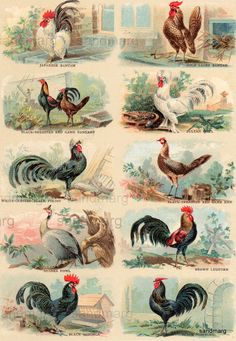 1868 Chickens Hens Roosters Beautiful Ornamental Fowl by sandmarg Chicken Painting, Chicken Art, Arte Do Galo, Decoupage, Beautiful Chickens, Images Vintage, Chickens And Roosters, Hens And Chicks, Chicken Breeds