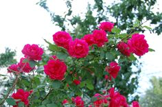 By Stan V. (Stan the Roseman) Griep American Rose Society Certified Consulting Rosarian – Rocky Mountain District In this article we will take a look at two classifications of roses, the Rambler Roses and the Climbing Roses. Many think that these two types of roses are the same, but this is not true. There are…
