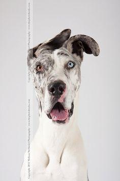 Faith. Great Dane Deaf Dog