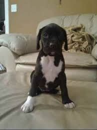 Image result for pointollie Pocket Pitbull, Pitbulls, Dogs, Animals, Image, Animales, Pit Bulls, Animaux, Pet Dogs