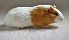 It can be a painful experience as you can imagine, when a guinea has a broken leg. Read this article to see if the leg is broken and what to do about it. Guinea Pig Care, Guinea Pigs, Broken Leg, Bunnies, Angels, Pets, Angel, Rabbit, Bunny