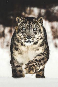 lmmortalgod:  Coming to get you…. Красивые Кошки, Большие Кошки, Кошки И Котята, Милые Животные, Дикие Животные, Бездомные Коты, Природа, Леопарды, Фотографии Животных