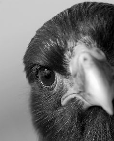 raven close up Love Birds, Beautiful Birds, Animals And Pets, Cute Animals, Quoth The Raven, Crow Bird, Raven Art, Jackdaw, Crows Ravens