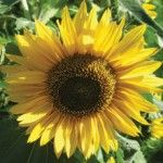 Sunflowers in Companion Planting. Good for pollinators. Also plant carrots and lettuce with the bush beans.