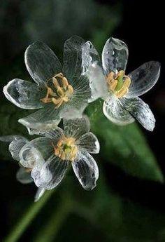 暑いので涼しそうな花の画像にしましまた サンカヨウという花で雨に濡れると透明になりますワイシャツが濡れると透けるのと同じ原理です北海道などに生育してるようですが沖縄にもあれば涼めそうなのになあ   tags[沖縄県]
