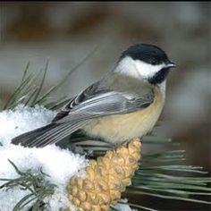 Chickadee in the north woods