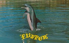 """""""Flipper"""", star of TV program on NBC, 7:30 Sat. nites performs his tail walking act while the series is being filmed at Miami's Fabulous SEAQUARIUM."""
