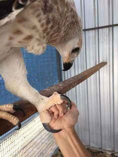 "chasingthehawk: "" winter-mew: "" "" sixpenceee: ""The talons of an African Crowned Eagle compared to a fist. (Source) "" Fucking NOPE "" When you know your bird REALLY well "" If that eagle. Animals And Pets, Baby Animals, Funny Animals, Cute Animals, Eagle Animals, African Crowned Eagle, Beautiful Birds, Animals Beautiful, Harpy Eagle"
