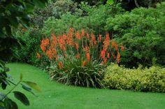 watsonia | garden flowers red Watsonia, Bugle Lily Watsonia photos, description ...